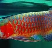 Luck Feng Shui with the Arowana Fish